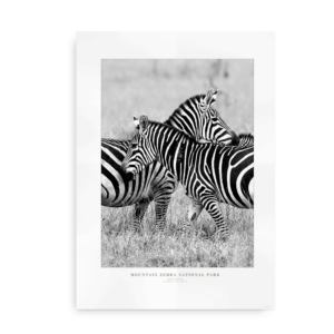 Zebra Love - Plakat med zebraer