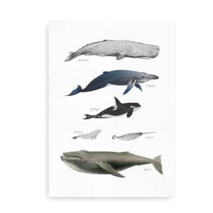 Hvaler - plakat med hvaler