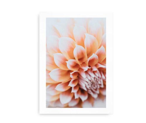 Dahlia Flower - foto plakat med dahlia blomst - pink