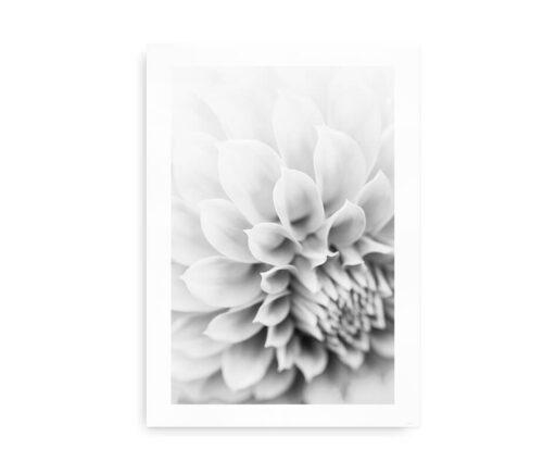 Dahlia Flower - foto plakat med dahlia blomst - sort hvid