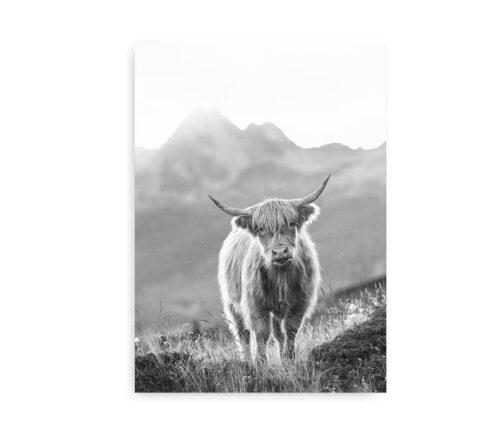 Highland Cow - fotokunst plakat