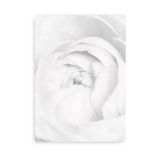 White Ranunculus - fotografi plakat blomst - sort hvid